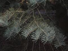 Kolorado-Tanne auf dem Tempelhofer Parkfriedhof, Berlin, NGIDn775231349 (naturgucker.de) Tags: abiesconcolor naturguckerde koloradotanne cwolfgangkatz 915119198 92636685 174372533 ngidn775231349