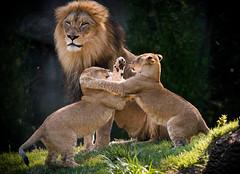 Watching the Kids Play (larry fa) Tags: morning nikon lion 300mm d800 lioncubs cincinnatizoo largecats challengegamewinner