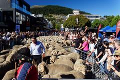 20160206-10-Sea of sheep in Queenstown (Roger T Wong) Tags: city travel newzealand summer people sheep crowd merino nz southisland otago queenstown 2016 sony2470 rogertwong sel2470z sonyfe2470mmf4zaosscarlzeissvariotessart sonya7ii sonyilce7m2 sonyalpha7ii runningofthewools