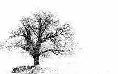 Snow more (-REcallable-Memories-of-ET-) Tags: 2016 eszetamás hungary nikon places d5200 bakony snow tree europe et