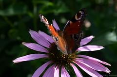 Summer (Sandra Király Pictures) Tags: flowers flower butterfly outdoor poland kraków cracow botanicalgarden ogródbotaniczny