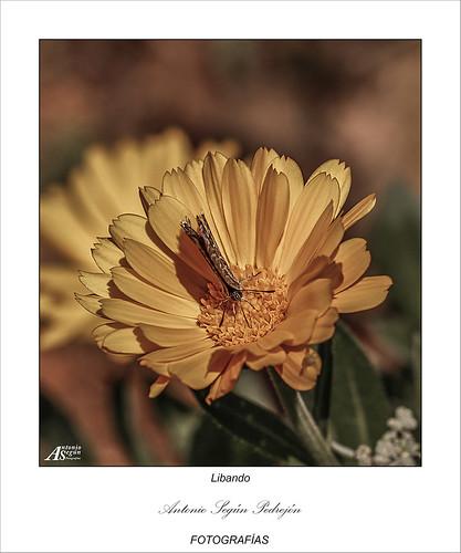 Mariposa libando el polen de una Margarita.
