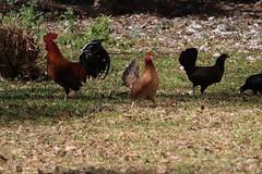 Canon201737 (godrudy6661) Tags: chickens chicken neworleans ninthward wildchicken feralchicken