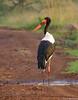 Jabiru (dragoms) Tags: africa bird kenya wildlife nairobi ave jabiru birdwatcher saddlebilledstork wildlifephotography nairobipark ephippiorhynchussenegalensis quénia wildlifeconservancy dragoms