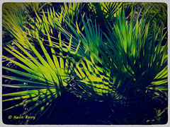 Lake Wales Ridge State Forest, Florida (Kevin B Photo) Tags: morning light color green nature sunrise artistic florida native fl iphone kevinbarry sawpalmetto lakewalesridgestateforest