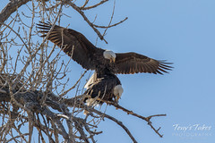 Bald Eagles copulating sequence - 10 of 28