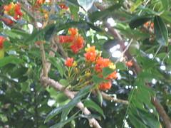 starr-120606-6897-Castanospermum_australe-flowers_and_leaves-Kahanu_Gardens_Hana-Maui (Starr Environmental) Tags: castanospermumaustrale