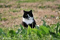 Gatto 2 (edmondo rizzo) Tags: gatto guardia animaledomestico mammiferi animalidomestici oasidibentivoglio viavietta