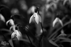 Black and White Spring II (judithrouge) Tags: flowers blackandwhite nature spring blossom fineart natur blumen monochromatic blüte snowdrop frühling schneeglöckchen frühjahr schwarzweis frühblüher frühjahrsblüher