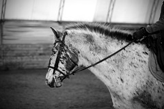 Schoolmaster (Nix Alba) Tags: horses blackandwhite horse sports monochrome barn photography 50mm appaloosa nikon outdoor farm teacher riding leopard spotted equestrian horsebackriding equine lessons stables hanoverian warmblood schoolmaster equines hanoverians appaloosas warmbloods sporthorse sporthorses d7000