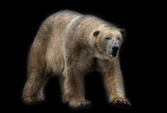 Polar Bear (gareth46233) Tags: bear park wildlife yorkshire polar doncaster