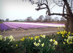 Hyacinthus (Martin van Duijn) Tags: flower holland netherlands season bulbs bas pays noordwijk hyacinthus noordwijkerhout hollanda niederland
