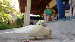 2016 | 02 (Adolfo Lima) Tags: bird pssaro australiano periquito