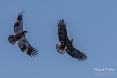 Juvenile Bald Eagle tries to steal away a fish - sequence - 6 of 9