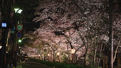 Night Sakura (ropaisus) Tags: night 35mm kyoto sony 京都 桜 sakura lightup 夜桜 kiyamachi 夜 ライトアップ samyang 木屋町 sonya7 samyang35mm