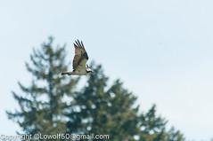 _DSC4793.jpg (orig_lowolf) Tags: usa dog nature oregon nikon flickr osprey lakeoswego turkeyvulture d300s sigma150500mmf563afapodgoshsmtelephotozoom