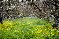 Cherry orchard (Bruce_of_Oz) Tags: cherry blossom kodak voigtlander 400uc bessamatic cherryorchard 1354 dynarex