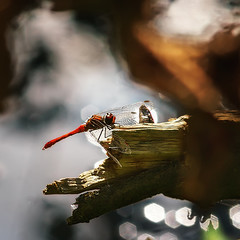 On fire... (.: mike | MKvip Beauty :.) Tags: male green nature berg animal backlight zeiss germany prime europe dragonfly bokeh availablelight sony naturallight jena 300mm handheld manual alpha immature juvenile libelle backlighting mth shallowdof odonata carlzeiss czj mnnchen  scarletdarter vintagelens carlzeissjena primelens prakticar manuallens manualexposure extremebokeh smoothbokeh crocothemiserythraea scarletdragonfly sonyalpha 4 bokehlicious feuerlibelle manualfocusing vintageprime beyondbokeh emount mkvip prakticab manualondigital sonyalpha6000 ilce6000 sonyilce6000 brull1832 sony6000 6000 carlzeissjenaprakticar300mm carlzeissjenaprakticar300mm4mc