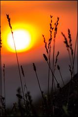 20140815-340 (sulamith.sallmann) Tags: plants plant nature grass evening abend frankreich sonnenuntergang time natur pflanze pflanzen gras dmmerung sonne fra grser abenddmmerung sundawn abendlich schattenriss tagesende naturschauspiel sulamithsallmann