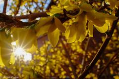 forsynthia in the sun part A (Brian Eagar Nature Photography) Tags: blue sky brown sun green yellow march spring fuji 15mm stpatricksday sunstar signsofspring saintpatricksday 2016 xt1 laowa 15macro fujixt1 laowa15mmmacro laowa15macro
