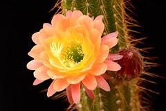 Image1178RR (staffordlaura1955) Tags: cactus orange nature outdoors desert bloom cereus