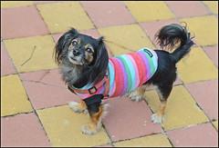 Tina (Totugj) Tags: chien dogs nikon perro perros nikkor mascotas perrita d5100