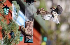 Move Over (martydot55) Tags: birds outdoor sparrow birdsnature
