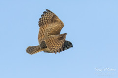 Great Horned Owl flyby sequence - 3 of 10