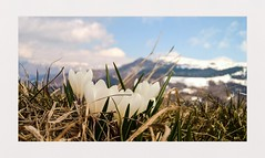 Spring has come (cortomaltese) Tags: mountains macro spring dof crocus trento trentino whiteflowers lessinia lessini