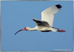 Ibis (2) (RKop) Tags: a77mk2 minolta600mmf4apog sanibel florida raphaelkopanphotography sony wildlife