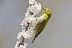 Plum blossom & White-eye (Ayubi3104) Tags: whiteeye