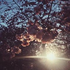 Sakura (Olly Denton) Tags: uk light sunset sky 6 sun tree london apple nature cherry spring mac blossom hammersmith cherryblossom sakura ios twigs hanami shepherdsbush iphone ravenscourtpark vsco iphone6 vscocam