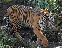 sumatran tiger bugerszoo JN6A5439 (j.a.kok) Tags: tiger sumatrantiger tijger burgerszoo pantheratigrissumatrae sumatraansetijger