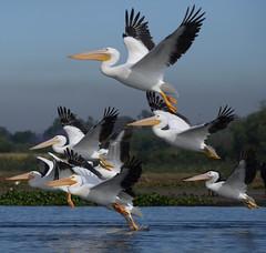American White Pelicans (cjlloyd2078) Tags: birds mexico jalisco aves americanwhitepelican pelicanuserythrorhynchos avesdejalisco pelicanoamericanoblanco