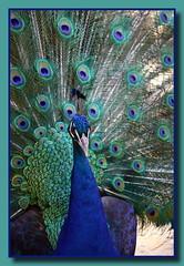 Pfauhahn ... Peacock ... Paon (p_jp55 (Jean-Paul)) Tags: france bird zoo frankreich peacock montpellier roussillon oiseau tiergarten languedoc paon pfau parczoologique pfauhahn
