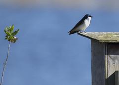 No Place Like Home_3999 (Mike Head - Jetwashphotos) Tags: canada pond bc singing britishcolumbia richmond marsh swallow nestbox territory songbird ionaisland treeswallow westerncanada regionalpark nestingbox westernregion