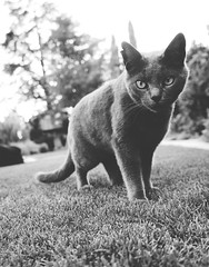 Cosmo (Sophia Ann Steele) Tags: blackandwhite bw pet cats pets nature animal animals cat blackcat garden graycat greycat kittycat catlady