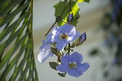 Kuba Havanna Grobltige Thunbergia (Thunbergia grandiflora)) (Ruggero Rdiger) Tags: cuba havanna kuba lahabana 2016 besichtigung citystadt rdigerherbst