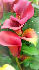 Lily (dianecorfield) Tags: flower lily pot colourful macroflowers iloveflowers