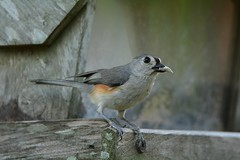 Tufted Titmouse DSC_0464 (blthornburgh) Tags: nature garden tampa outdoors backyard florida central titmouse songbird tuftedtitmouse thornburgh