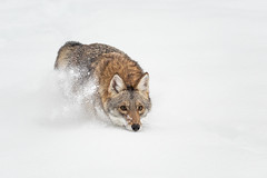 Intensity 2 (ms2thdr) Tags: winter snow outdoors montana wildlife kalispell coyotes controlledconditions tripledgamefarm
