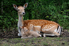 SIKA DEER WITH ITS FAWN (GERMANY, LOWER SAXONY, NINDORF-HANSTEDT) (KAROLOS TRIVIZAS) Tags: baby animal fauna germany mammal affection mother deer fawn devotion japanesedeer lowersaxony cervusnippon spotteddeer cervinae nindorfhanstedt truedeer