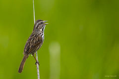 Song Sparrow (GeorgeTsai 168) Tags: bird spring song sparrow