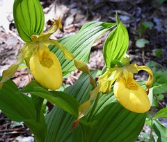 7652e3x dancing duo (jjjj56cp) Tags: flowers orchid yellow nationalpark spring tn hiking tennessee blossoms p900 blooms wildflower smokies gsm greatsmokymountains ladysslipper greatsmokymountainsnationalpark wildorchid yellowladysslipper trailside streamside schoolhousegaptrail jennypansing