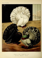 n415_w1150 (BioDivLibrary) Tags: pigeons fieldmuseumofnaturalhistorylibrary bhl:page=49799283 dc:identifier=httpbiodiversitylibraryorgpage49799283