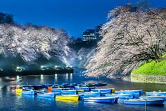 Sakura at Blue Hour  (Sharleen Chao) Tags: travel plant water japan night canon boats tokyo spring 100mm  flowering sakura cherryblossoms  moat springtime    2016  fullbloom    prunusyedoensis yoshinocherry     5dmarkiii
