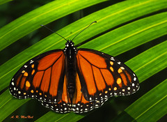 Monarch on Green 1 - Ka'anapali, Maui (Barra1man (Busy in the Garden)) Tags: orange green nature hawaii unitedstates wildlife olympus maui foliage shade monarch resting monarchbutterfly kanapali iso640 lens300mm olympusem1 f220160