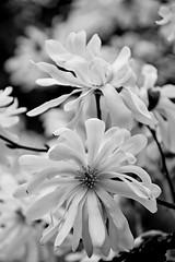 (armykat) Tags: blackandwhite flower floral monochrome gardens garden spring magnolia blooms winterthur starmagnolia natureycrap winterthurdelaware winterthurgardensandcountryestate