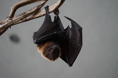 Flying Fox (G. Lang) Tags: germany deutschland zoo may mai karlsruhe flyingfox badenwrttemberg flughund zookarlsruhe sonya7ii sonyalpha7ii