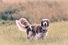 Bucolic (Elisa Pasche) Tags: summer dog pet pets nature field grass evening countryside bokeh bucolic
